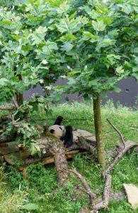 Ouwehands Dierenpark Pandasia panda