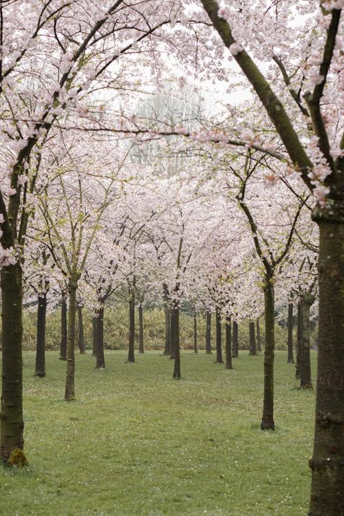 sakura japanse kersenbloesem amsterdamse bos