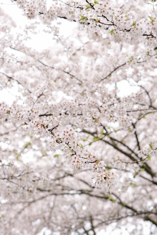 sakura japanse kersenbloesem