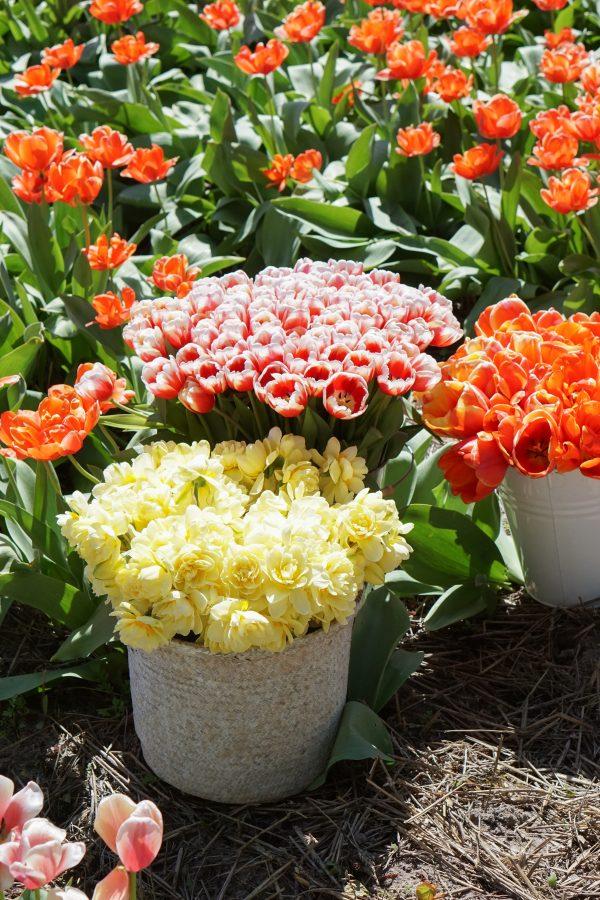 emmers tulpen tulpenveld fam flower farm