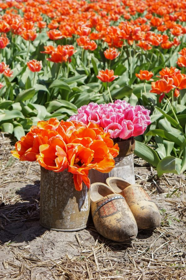 klompen wooden shoes tulips tulpen holland lisse