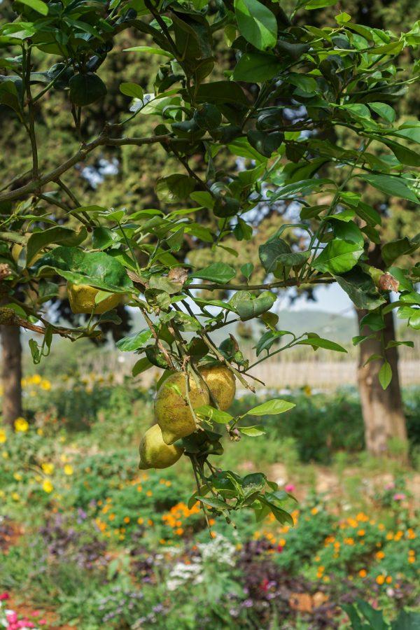 terra masia citroenboom