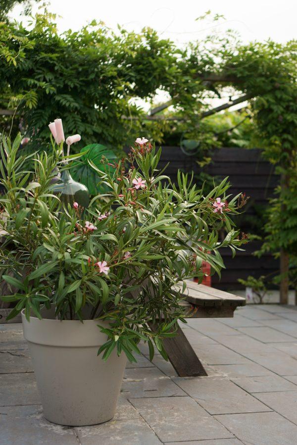 roze oleander tuin