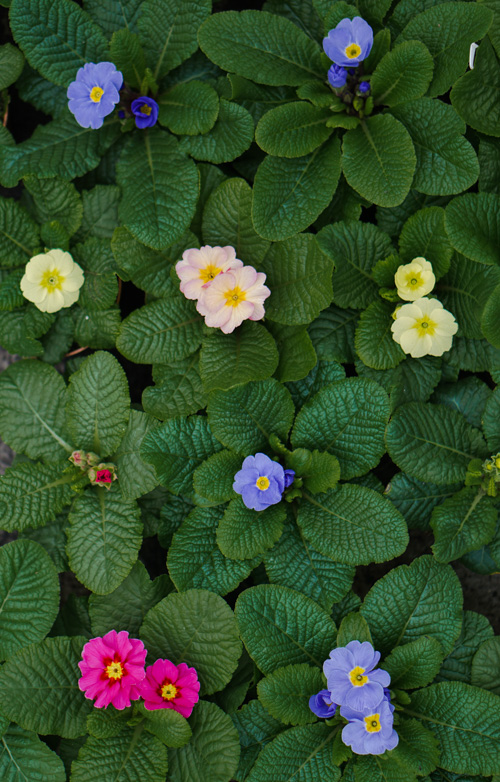 primula eetbare bloemen kopen